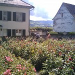 rapperswil_roses