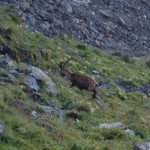 Another of the many Ibex