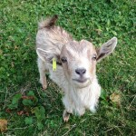 Max the baby goat